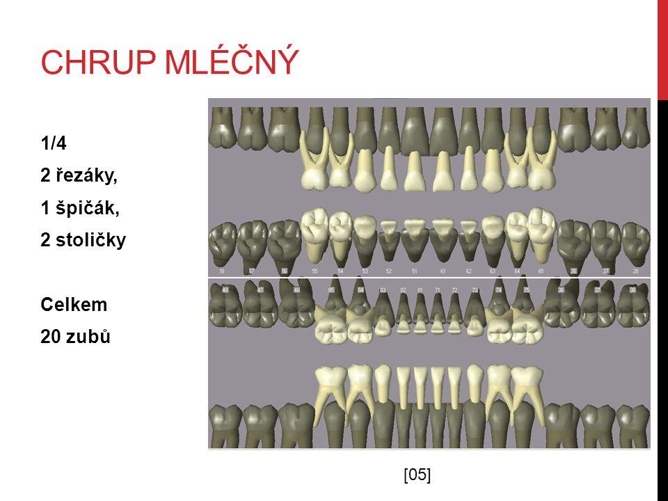 Chrup mléčný 1/4 2 řezáky, 1 špičák, 2 stoličky Celkem 20 zubů [05]